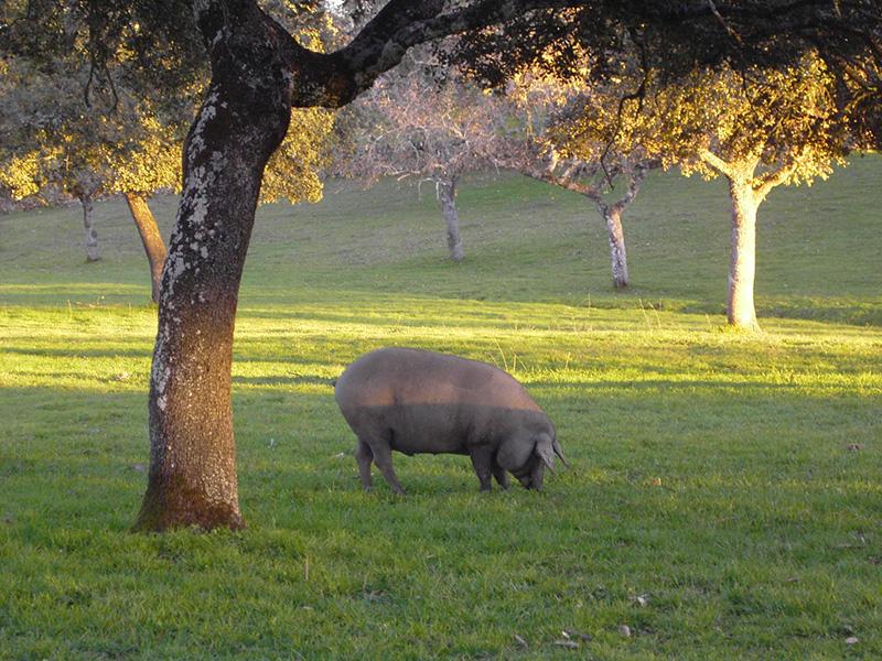 porco-pata-negra