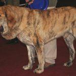 Mastim Espanhol, um cãozinho gigante de lealdade proporcional ao tamanho